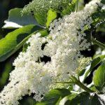 Abeceda léčivých rostlin – Bez černý