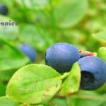 Abeceda léčivých roslin – Borůvka brusnice