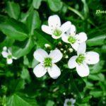 Abeceda léčivých rostlin – Potočnice lékařská
