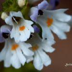 Abeceda léčivých rostlin – Světlík lékařský